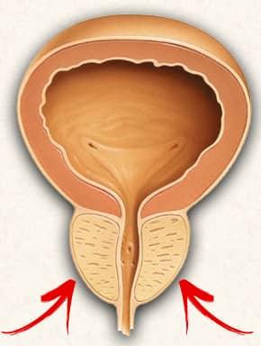 Die Prostata und deren Funktion - eine Anleitung